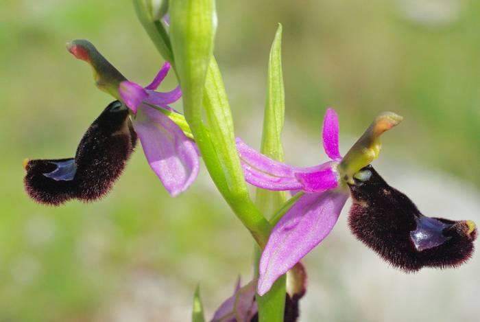 Bertoloni's-Bee-Orchid,-Italy-shutterstock_459736849.jpg