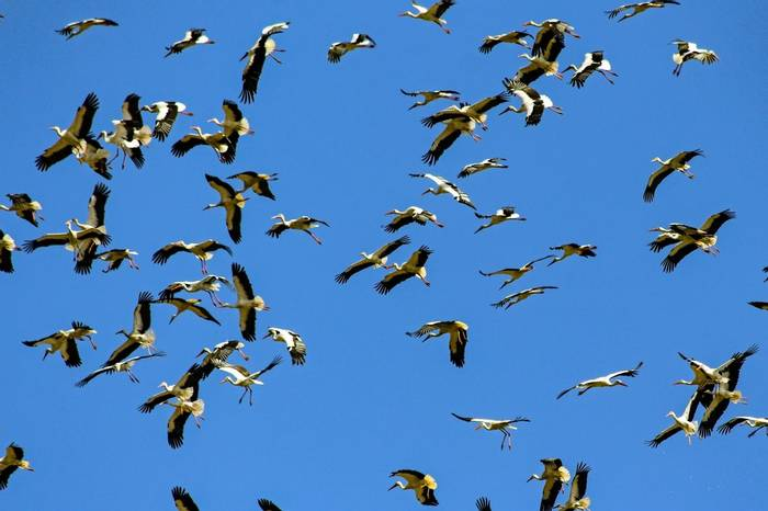 Migrating White Storks (1) (Simon Tonkin)