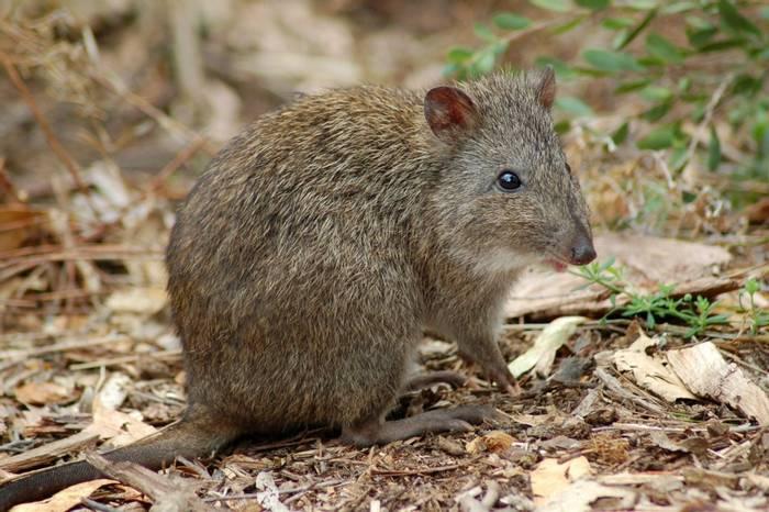 Long-Nosed Potoroo, Australia. shutterstock_858741.jpg