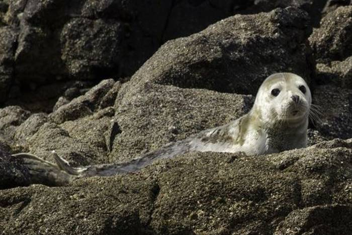 Common Seal (Colin Brown)
