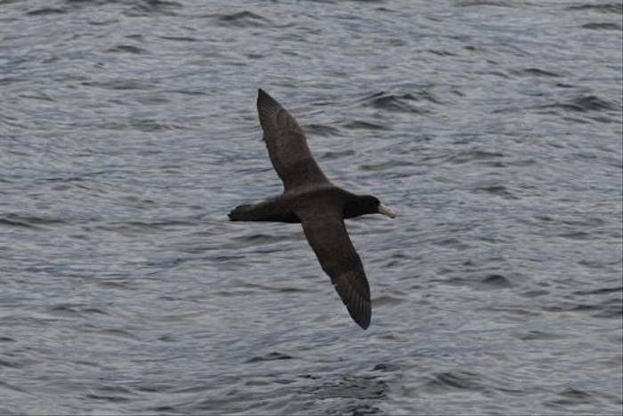 Southern Giant Petrel (David Harris)