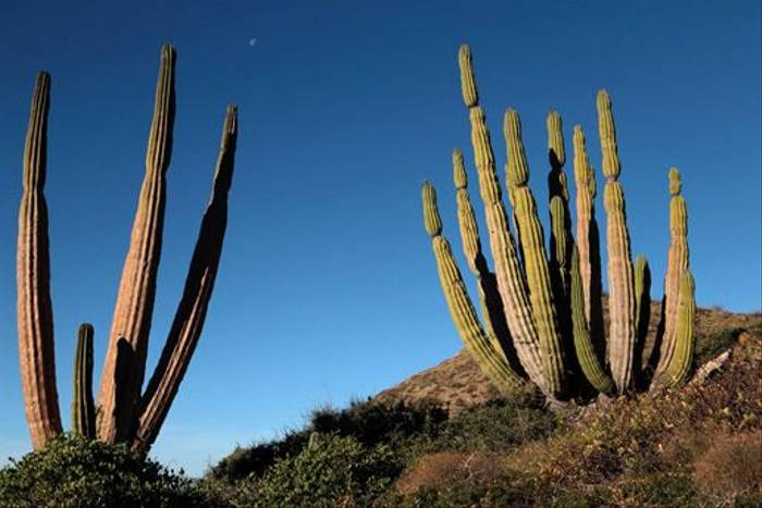 Giant Cardon Cacti (Lee Morgan)