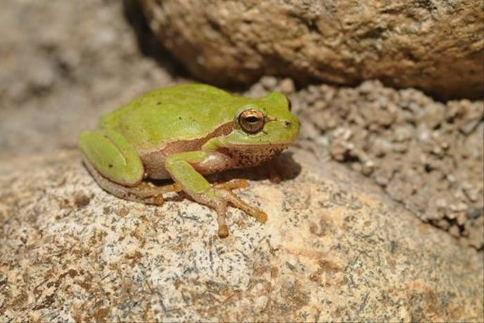 Tyrrhenian Tree Frog (David Morris)