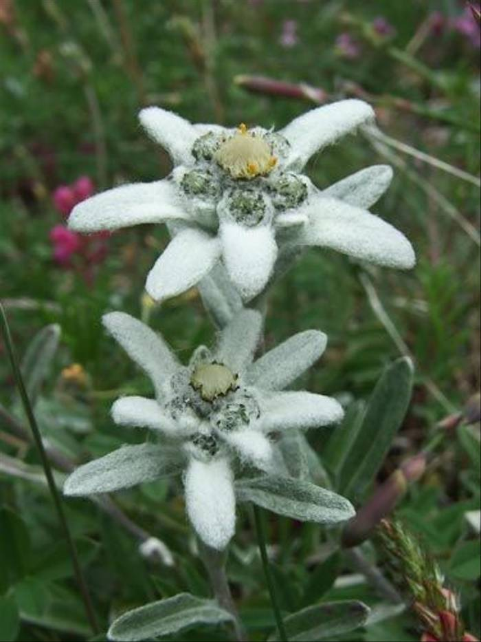 Leontopodium alpinum - Edelweiss (John Willsher)