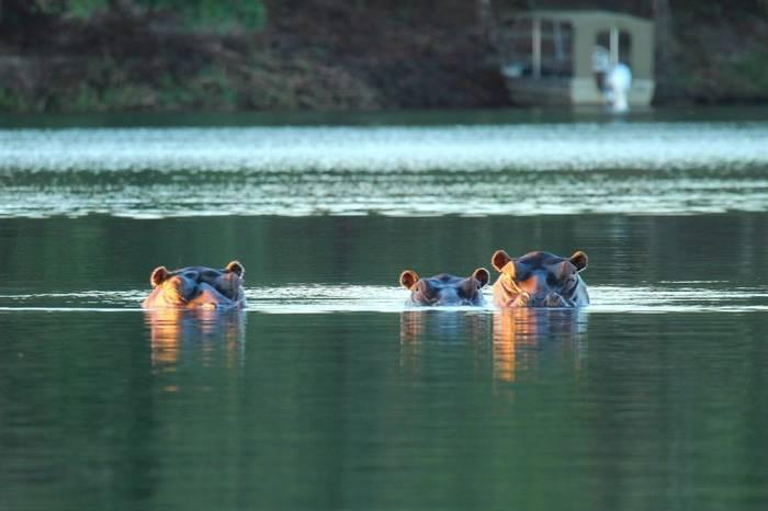Hippos (Nick Scarle)