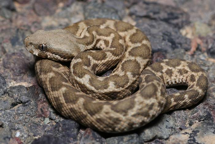Moorish Viper (Daboia mauritanica) - Dan Kane