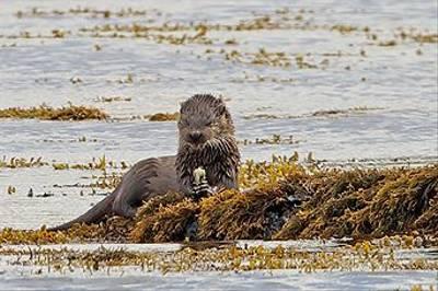 European Otter by Alain Verstraete