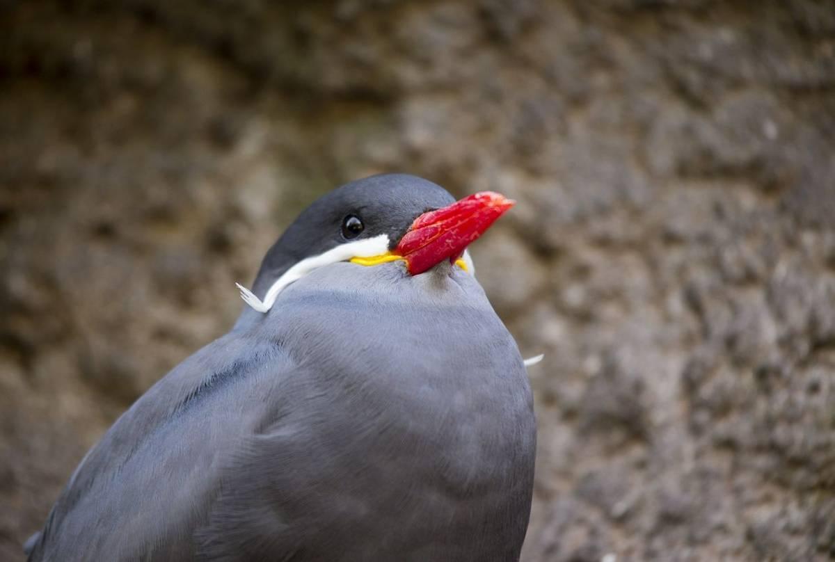 Inca Tern Shutterstock 344410184