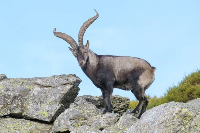 Iberian-Ibex,-Spain-shutterstock_772536259.jpg