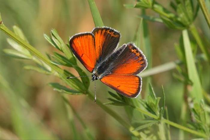 Purple-edged Copper (Denise Whittle)