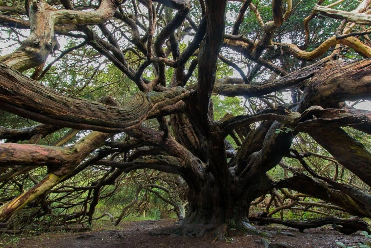 Kingley_Vale_Yew_Tree_AdobeStock_178336662.jpeg