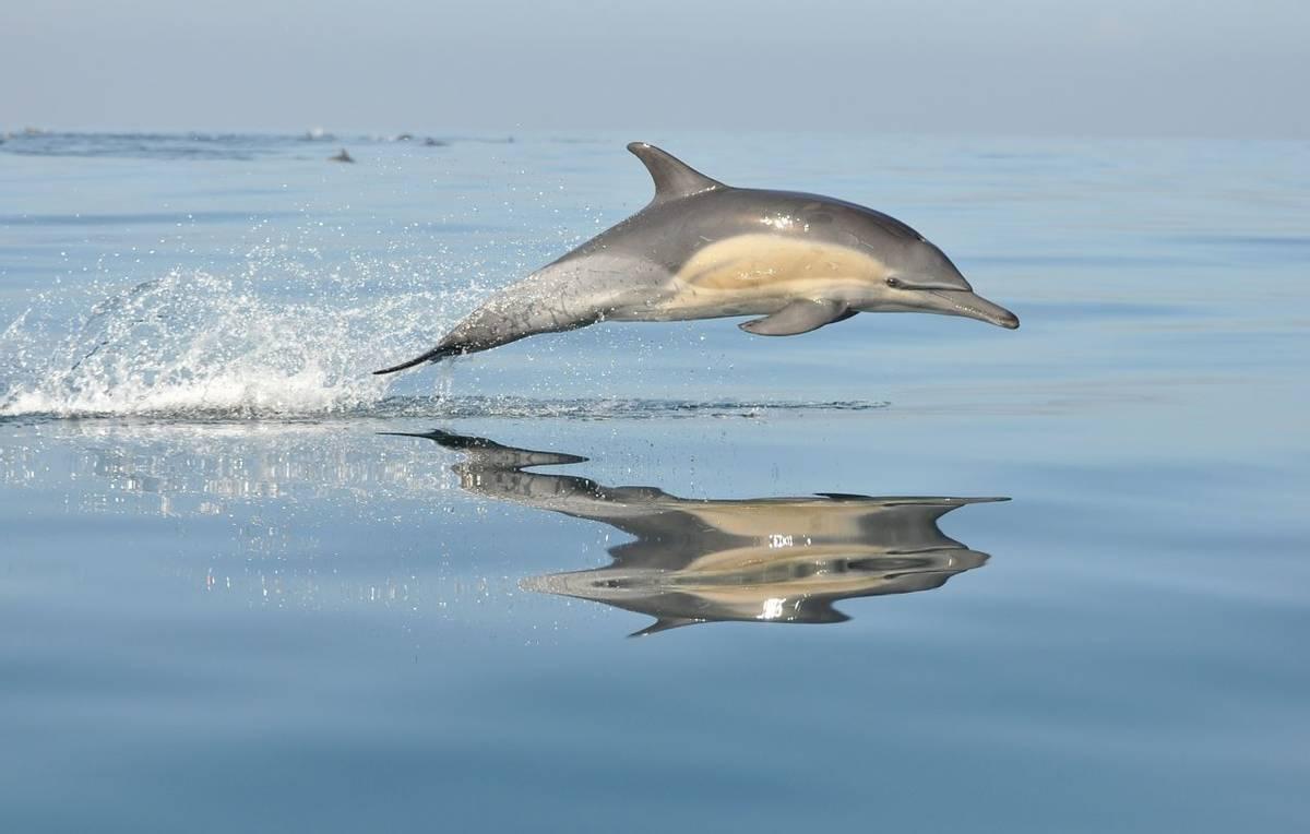 Common Dolphin Shutterstock 81211168