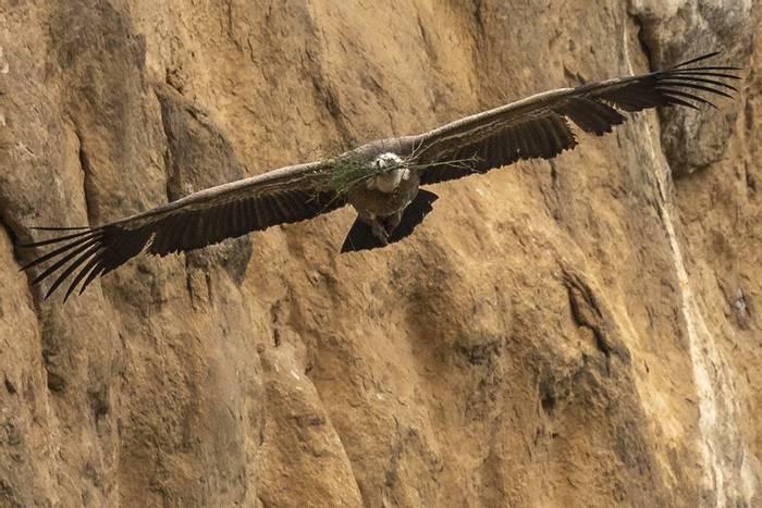 Griffon with nest material in Lumbier Gorge (Javi Elorriaga).jpg