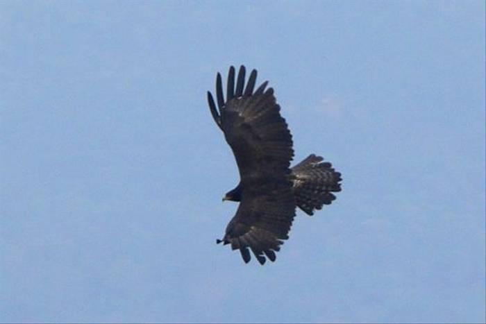 Black Eagle (Tim Melling)