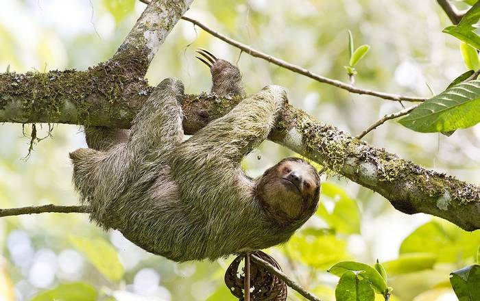 Hoffmans Three-toed Sloth (Kevin Elsby)