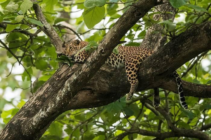 Leopard (Kaustubh Mulay).jpg