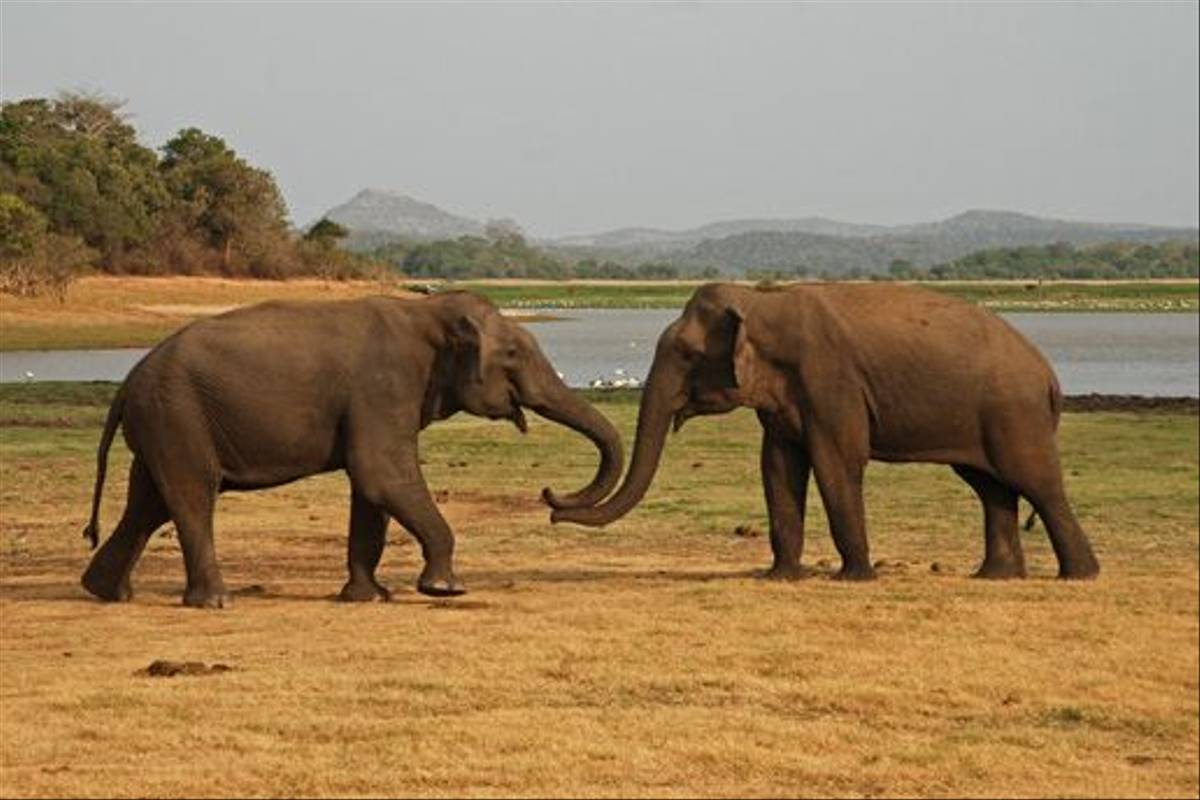 Male Elephants, Minneriya National Park (Thomas Mills)