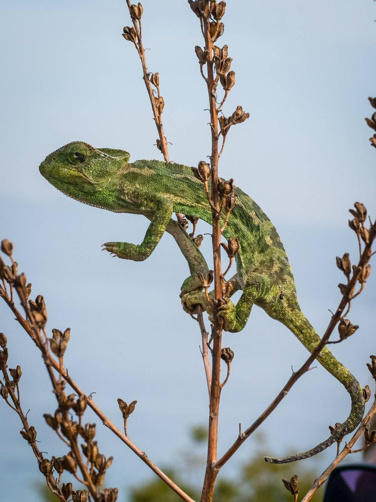 Mediterranean chameleon (Lisa Williamson)