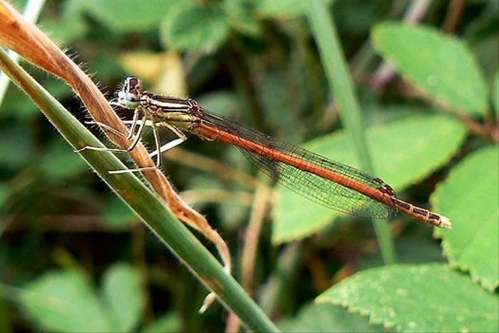Orange Featherleg Platycnemis acutipennis m side (Dave Smallshire)