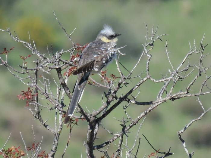 Great Spotted Cuckoo (Heather Osborne)