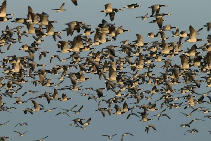 Barnacle Geese Shutterstock 1245267271