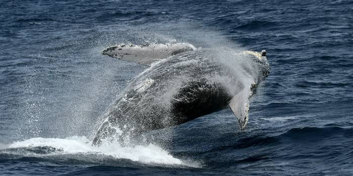 Humpback Whale (Dave Brotton)