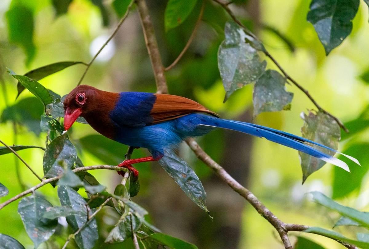 Sri Lanka Blue Magpie shutterstock_1619152876.jpg