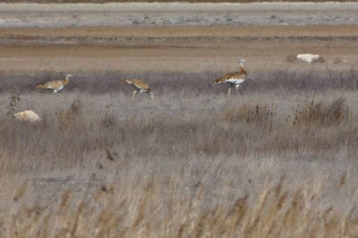 Great Bustards at Gallocanta (John Willsher)