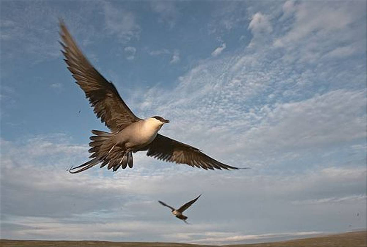 Long-tailed Skua (Jari Peltomaki)