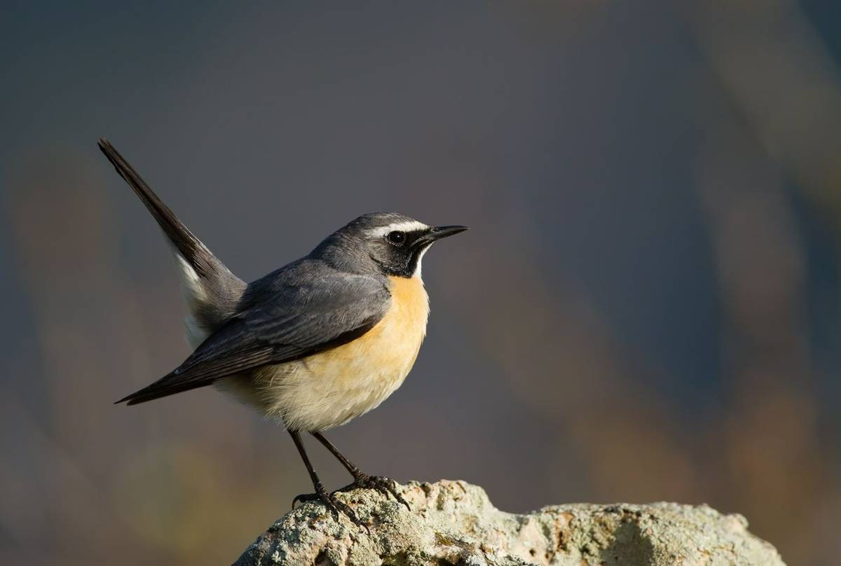 White Throated Robin. Shutterstock 201993748