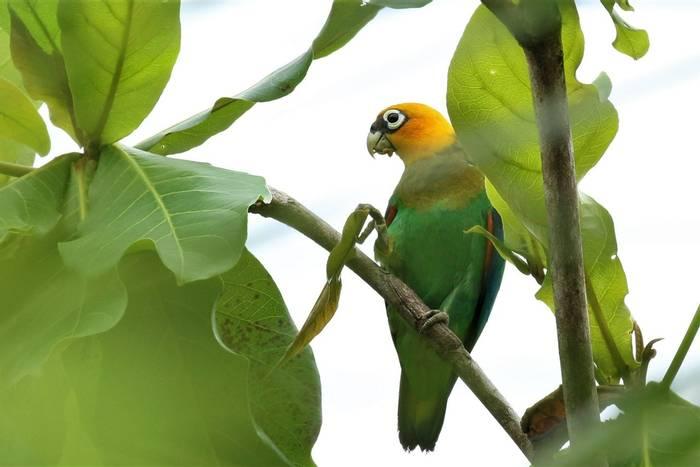 Saffron-headed Parrot (Rob Smith).JPG