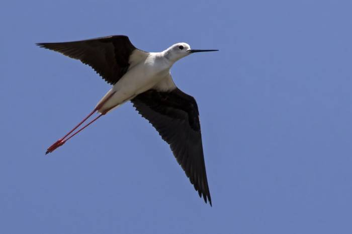 Black-winged Stilt, Colin Brown