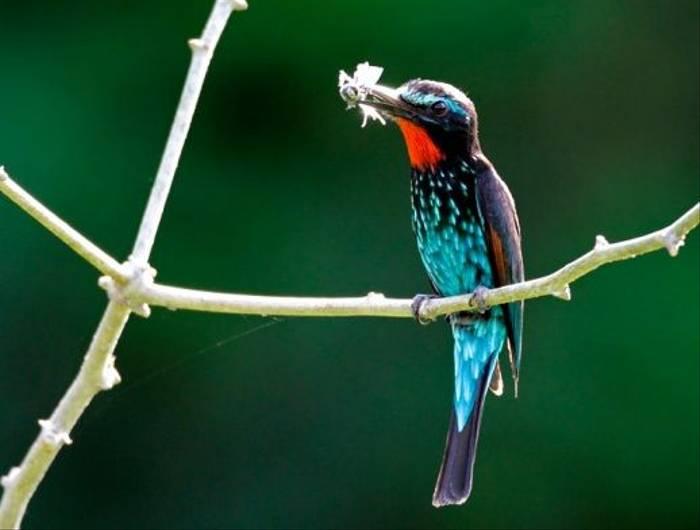 Black Bee-eater (Dick Forsman)