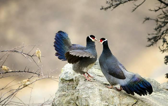 Blue Eared Pheasant Shutterstock 460652191