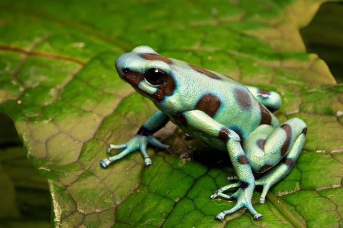 Green-and-black Poison Arrow Frog (Dendrobates auratus)