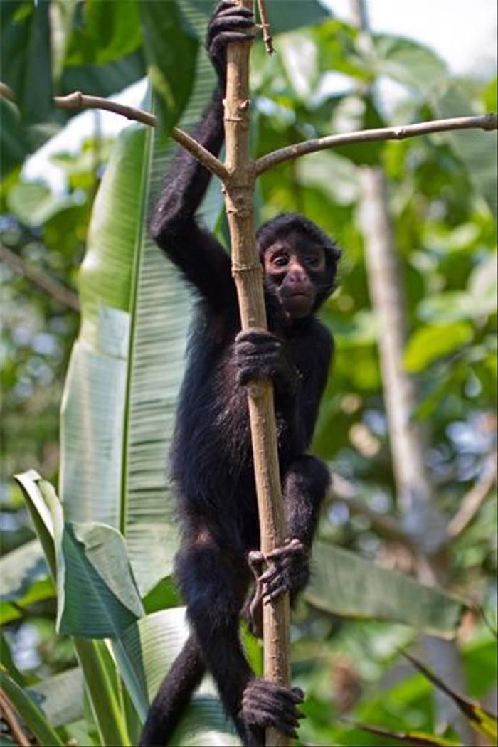 Peruvian Spider Monkey (Mike and Karen Galtry)