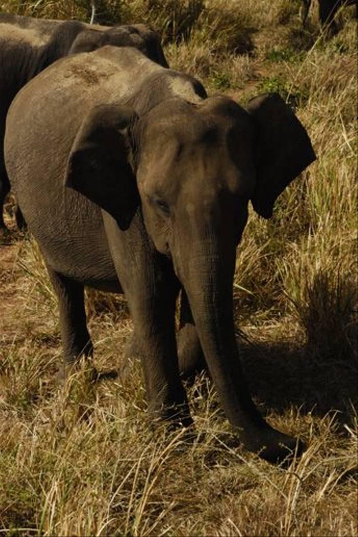 Asian Elephant, Uda Walawe National Park (Thomas Mills)
