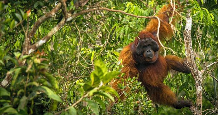 Orangutan, Borneo Shutterstock 681149248