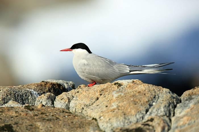 Arctic Tern (Bret Charman)