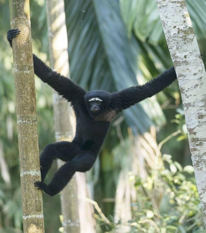 Western-Hoolock-Gibbon,-India-shutterstock_654310633.jpg