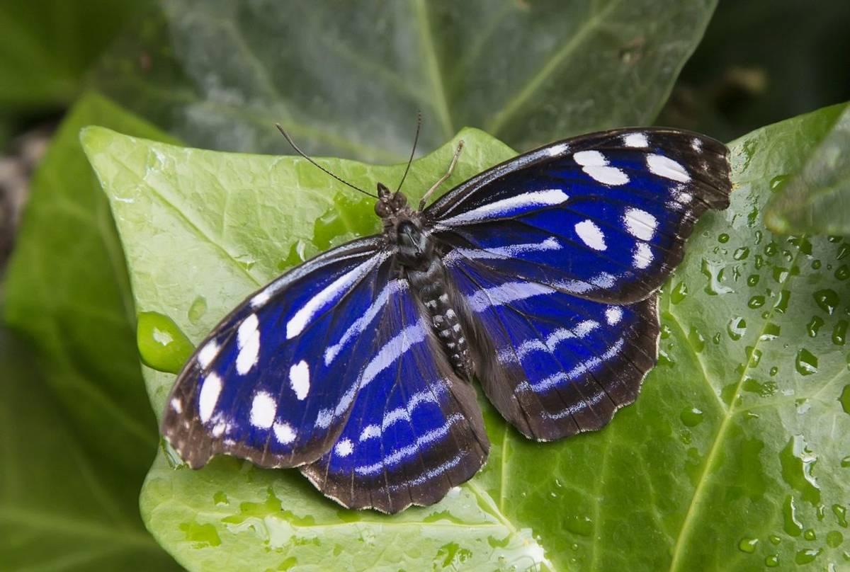 P20, (TEXAS) Mexican Bluewing Butterfly Shutterstock 458909569