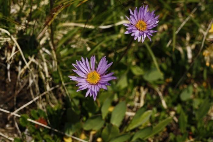 Aster alpinus (Alpine Aster) (Kerrie Porteous)