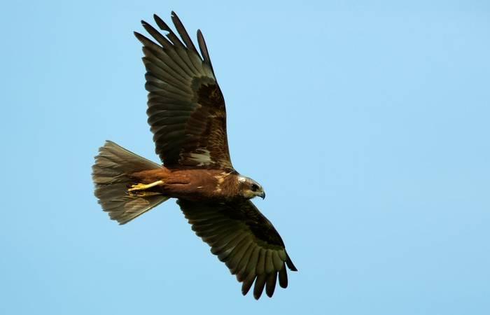 Marsh Harrier shutterstock_150302138.jpg