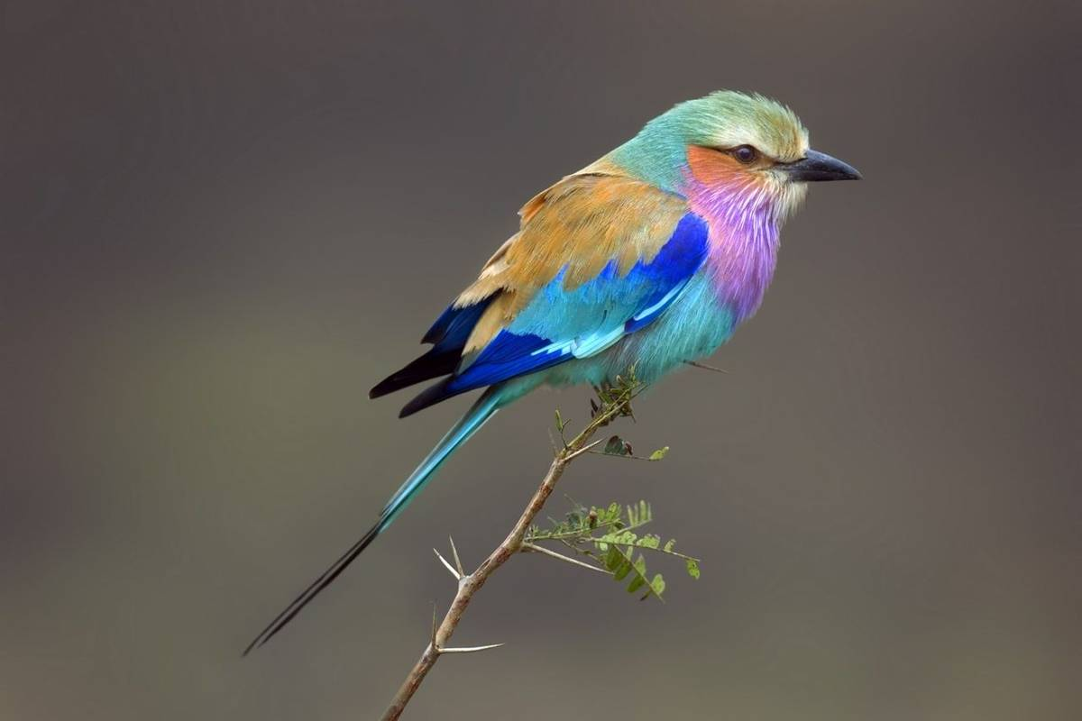 Lilac Breasted Roller, South Africa (Johan Swanepoel)