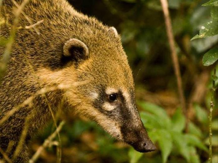 South American Coati (Mike Galtry)