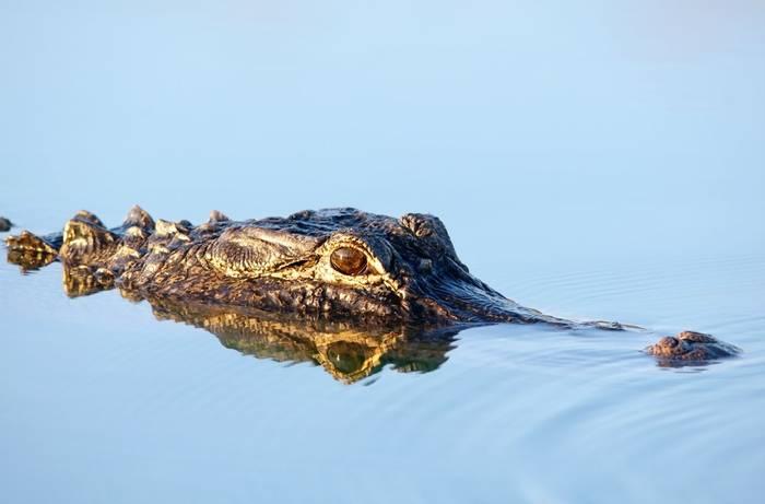Alligator Florida shutterstock_150058028.jpg