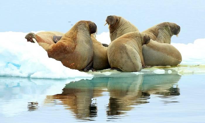 Walruses on an ice floe (Bret Charman)