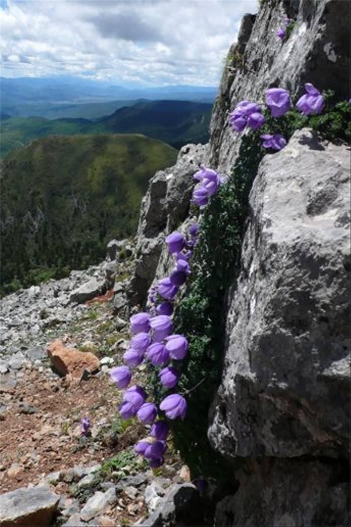 Paraquilegia microphylla, Shika Mountain (Phillipe de Spoelberch)