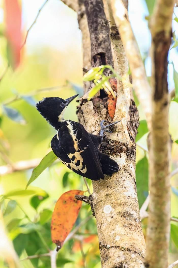 Heart-spotted Woodpecker, Cambodia shutterstock_359301560.jpg