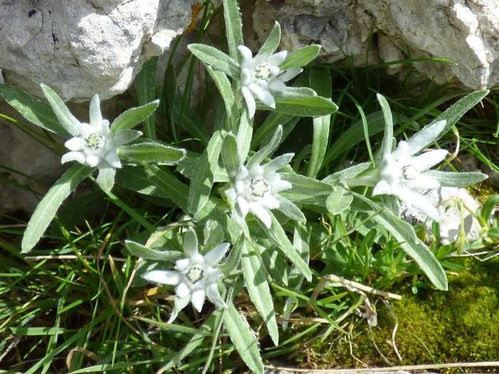 Edelweiss by Alan Miller